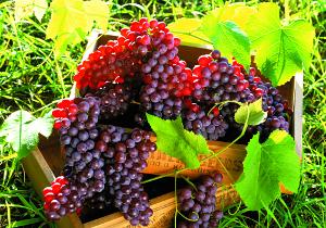 Виноградотерапия
