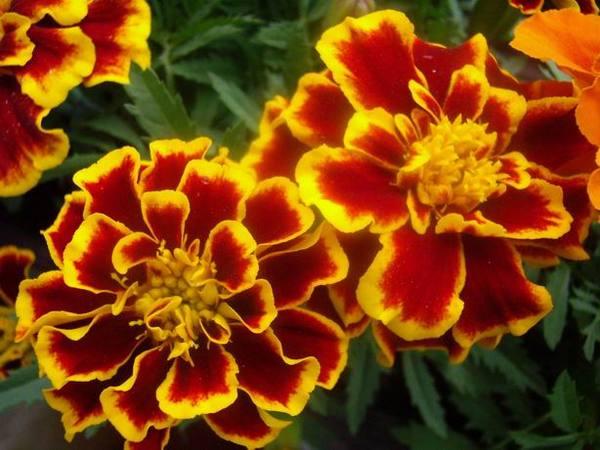 Экстракт цветков бархатцев (чернобривцов)